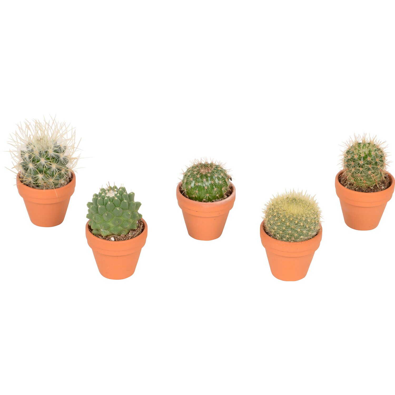 kaktus mix pr m r kv tin e cca 3 5 cm nakoupit u obi. Black Bedroom Furniture Sets. Home Design Ideas