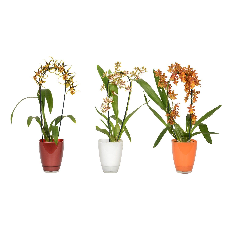 orchidej cambria cascade mix 1v honkov nakoupit u obi. Black Bedroom Furniture Sets. Home Design Ideas