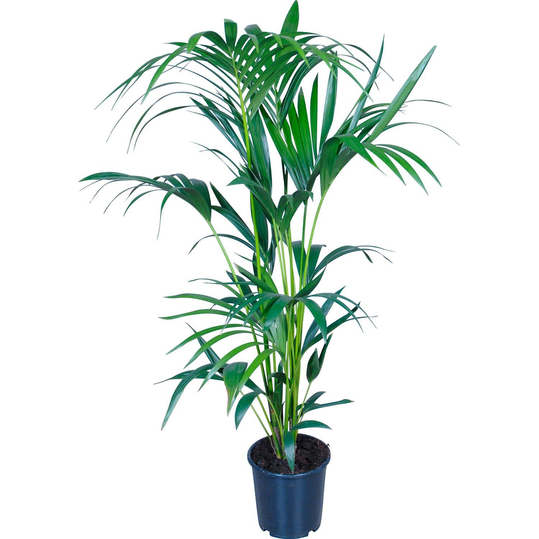 Rajsk palma pr m r kv tin e cca 21 cm nakoupit u obi - Zimmerpflanze palme ...