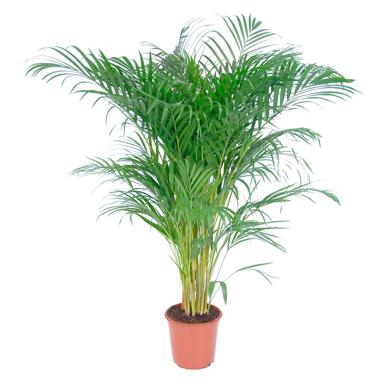 Palmy a palmovit rostliny online koupit v prodejn obi - Zimmerpflanze palme ...
