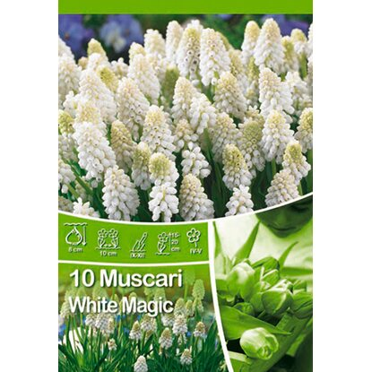 Modřenec - Muscari White Magic