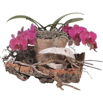 orchidej phalaenopsis na kmeni stromu nakoupit u obi. Black Bedroom Furniture Sets. Home Design Ideas